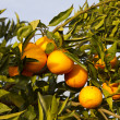 Valencia orange trees — Stock Photo #17852721