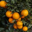 Valencia orange trees — Stock Photo #17852887