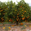 Valencia orange trees — Stock Photo #17852991