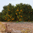 Valencia orange trees — Stock Photo #17853015