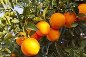 バレンシア オレンジの木 — ストック写真