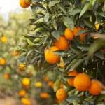Valencia orange trees — Stock Photo #18911091