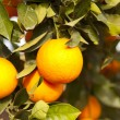 Valencia orange trees - Stock Photo