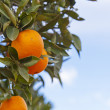 Stock Photo: Valenciorange trees