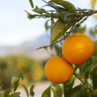 Valencia orange trees — Foto Stock