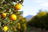 Valencia orange trees — Stock Photo