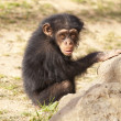 Chimpanzee — Stock Photo #20174397