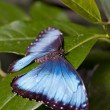 Morpho butterfly — Stock Photo #25221675