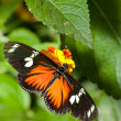 Stock Photo: Heliconius hecale