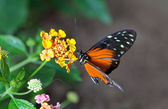 Heliconius hecale — Stock Photo
