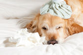 Dog with flu — Stock Photo