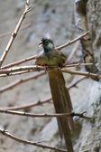 Mousebird manchado (Colius striatus) — Stock Photo