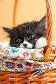 ペルシャ猫 — ストック写真
