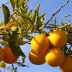 Valencia orange trees — Stock Photo #35546487