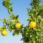 Valencia orange trees — Stock Photo #35547799