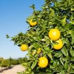 Valencia orange trees — Stock Photo #35548605