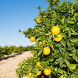 Valencia orange trees — Stock Photo