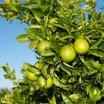 Valencia orange trees — Stock Photo #35549369