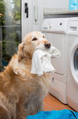 Golden Retriever doing laundry — Stock Photo