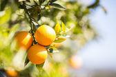 夏橙树 — 图库照片