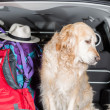 Golden Retriever Trip — Stock Photo #47253601