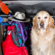 Golden Retriever Trip — Stock Photo