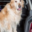 Golden Retriever Trip — Stock Photo #47253789