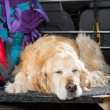 Golden Retriever Trip — Stock Photo #47253861