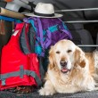Golden Retriever Trip — Stock Photo #47254067