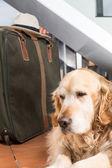 Golden Retriever travel departing — Stock Photo