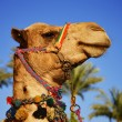 Camel over the blue sky - Stock Photo