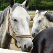 Stock Photo: Horses near stable