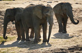 Group of African elephants in natural environment — Stock Photo