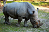Rhinoceros in natural environment — Stock Photo