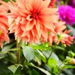 Blooming dahlias in garden on September — Stock Photo #38615463