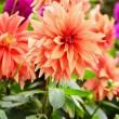Blooming dahlias in garden on September — Stock Photo #38615515