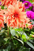 Blooming dahlias in the garden on September — Stock Photo