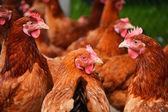 Poulets sur l'élevage de volailles poulets traditionnels — Photo