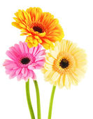 Composition with three gerberas isolated on white — Stock Photo
