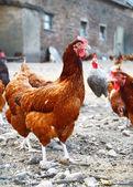 Pollos en las granjas avícolas tradicionales gama libre — Foto de Stock