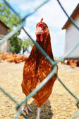 Chickens behind the fence on traditional free range poultry farm — Stock Photo