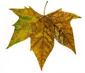 Autumn leaf large — Stock Photo