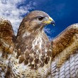Common Buzzard. Buteo buteo — Stock Photo