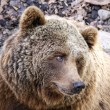 Stock Photo: Brown Bear Ursus arctos