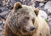 Brown Bear Ursus arctos — Stock Photo
