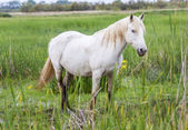 White arabian horses — Foto Stock
