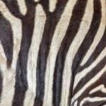 ������, ������: Zebra skin texture