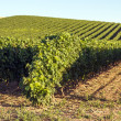Rioja vineyards — Stock Photo
