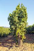 Rioja vineyards — Stock Photo
