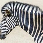 Zebra head — Stock Photo
